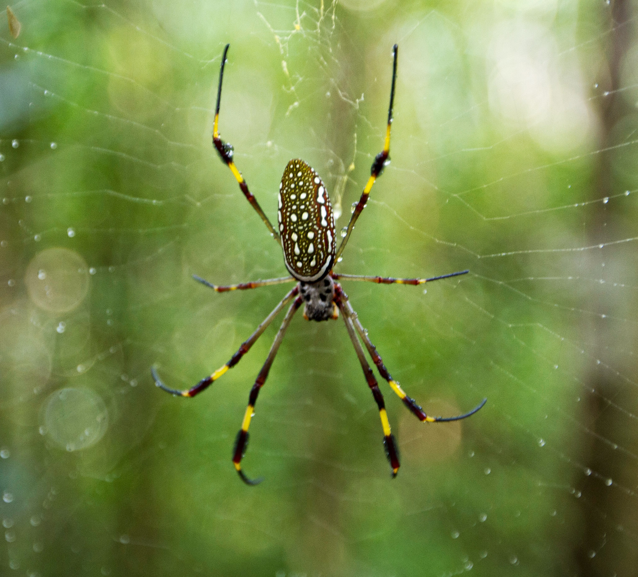 spidergolden-orb-9