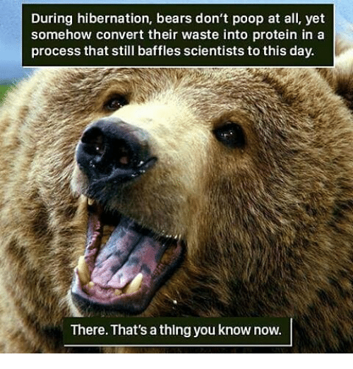 hibernation-bears-dont-poop-at-all-yet-somehow-convert-13596779
